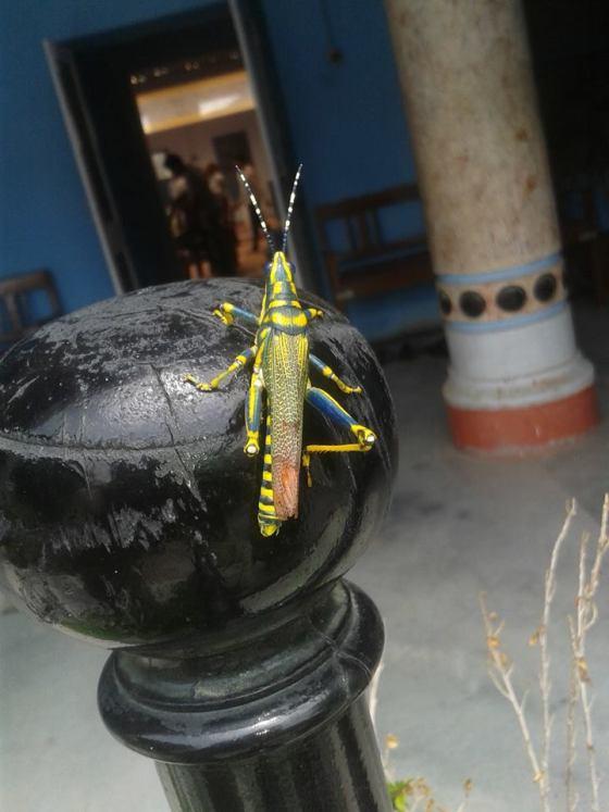 yellow-bug-shaktiki